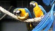Akıllı papağan yiyeceklerine ulaşmak için çeşit çeşit problem çözüyor