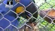 Ara papağanı kurumuş bitkileri ağızındaki fındığı sabitlemek için kullanıyor