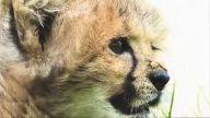 Çita ve Yavru Köpeğin Arkadaşlığı