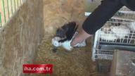 Tavşan Yavrularına Annelik Yapan Güvercin