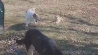Köpeği Tasmasından Tutup Kontrol Eden Kedi