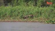 Jaguarın Başarılı Timsah Avı