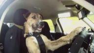Yarış Pistinde Araba süren Köpek