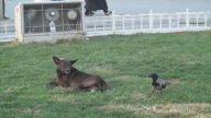 Karga ile Köpeğin Kavgası