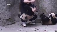 Yemek Beklerken İlaç Bulan Pandaların İntikamı
