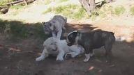 2 Kaplan 1 Köpek Karşılaşması