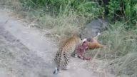 Leopar Avını Timsaha Kaptırdı