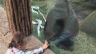 Küçük Kıza Orta Parmakla Hareket Çekmesini Öğreten Goril