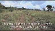 Leopar ve Golden Dostluğu