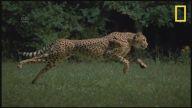 Ağır Çekim Görüntüleri ile Çita