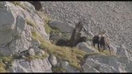 Dağ Keçisine Saldıran Kartal