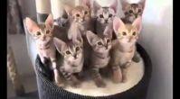 En Komik Kedi Videoları Kesin izle