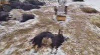 Kurtlar 25 küçükbaş hayvanı telef etti