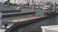 Bir Hışımla İskeledeki Fokları Denize Döken Asabi Köpek