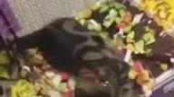 Yanlışlıkla Girilebilecek En Güzel Yere Giren Kedi Mağazanın Altını Üstüne Getirdi