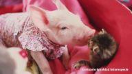 Yeni Doğmuş Domuz Yavrusu ile Küçük Kedinin Sımsıcak Dostluğu