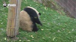 Sevimli panda kendini böyle top haline çevirdi