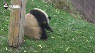 Sevimli Panda Nasıl Top Gibi Yuvarlanılır Dersi Veriyor