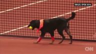 Tenis Turnuvasında Top Toplayıcı Olarak Görev Yapan Köpekler