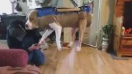 Bir Köpeğin Tırnaklarını Kesmenin En Kolay Yolu: Salıncak Yöntemi
