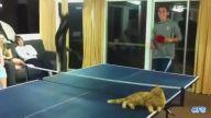 Kediler Tarafından Basılan Masa Tenisi Oyunları