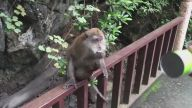 Pringles'a Dayanamayan Sevimli Maymun