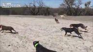 Su Kuyusuna Doğru Hızla Koşan Köpekler