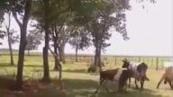 Çılgın koyun kafa attığı ineği bayılttı!!