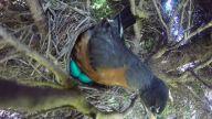 Kuş Yuvasından Yumurtaları Çalan Yılan