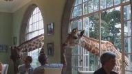 Restoranda Yemek Yiyen İnsanlara Eşlik Eden Zürafalar
