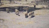 Uzaktan Kumandalı Kamera İle Tanışan Aslanlar