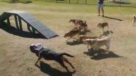 Uzaktan Kumandalı Arabayı Çılgınca Kovalayan Köpekler