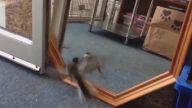 Bir Dükkana Girip Aynadaki Aksiyle Kavga Eden Kuş