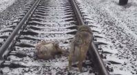 Yaralı Arkadaşını Raylarda Yalnız Bırakmayan Köpek