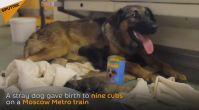 Moskova Metrosunda Doğum Yapan Köpek