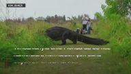 Florida'da görüntülere takılan dev timsah