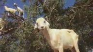 Dünyada Tek Bayburt'ta Yetişen Keçi Ağacı
