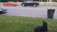 Satılık rottweiler yavrusu - Rottweilerturkiye.com