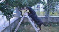 Satılık rottweiler - Rottweilerturkiye.com