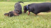 ucuz satılık köpek - Satilikyavrukopek.org