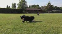 ucuz satılık köpekler - Satilikyavrukopek.org