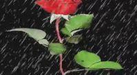 Zülfü Livaneli--Kan Çiçekleri..Meseleci06
