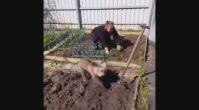 Rusya'da ev işlerine yardım eden bir ayı