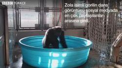 Goril Zola'nın dansı