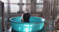 Dansçı goril izlenme rekorları kırıyor!
