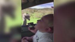 Deve kuşu, çocuğu gülme krizine soktu