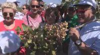 Antep Fıstığı Festivali, hasat ile başladı
