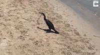 Karabatak zehirli yılanı böyle yedi! O anlar kamerada