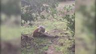 Piton yılanının yakaladığı köpeğin hayat mücadelesi kamerada!